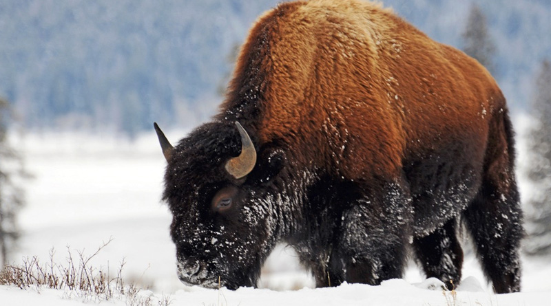 bison fiber sustainability